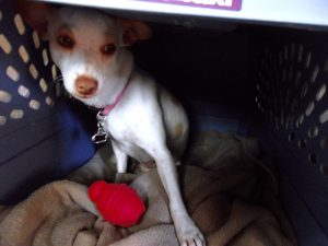 Cricket doesn't look happy in her kennel, but she's safe. It keeps her from being a destructive puppy when we can't watch her closely. TiresAndTails.com