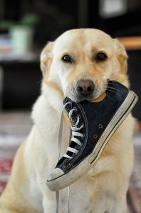 Puppies like to chew on everything. Pick up those shoes! TiresAndTails.com